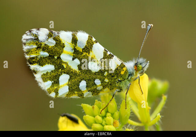 Eastern Dappled White (Euchloe ausonia crameri), sitting on yellow flowers, Italy, Sicilia - Stock-Bilder