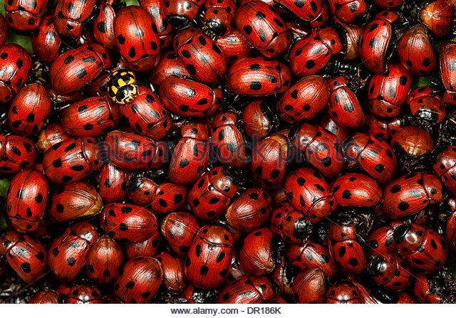 A pile of ladybugs. - Stock Image