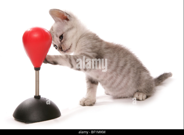 kitten with boxing bag studio portrait - Stock Image