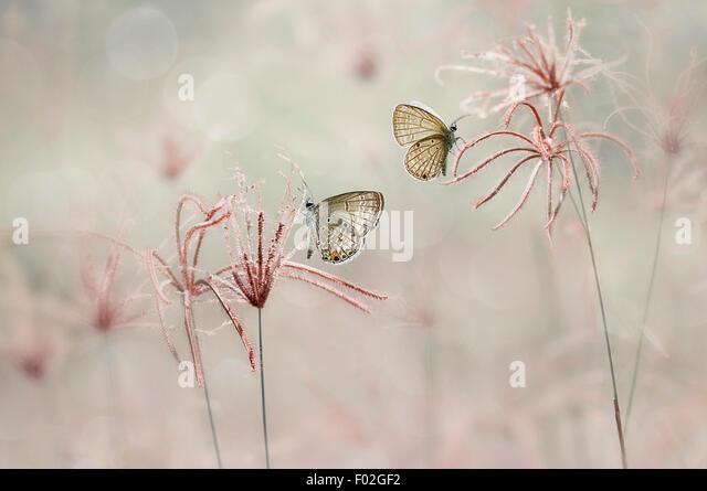 Two butterflies, Jombang, East Java, Indonesia - Stock Image