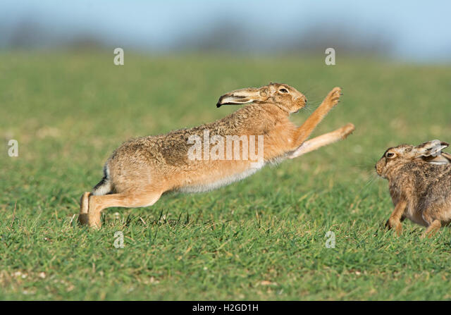 Mad March Hares, Brown Hares Lepus europaeus boxing near Holt Norfolk Easter Sunday - Stock Image