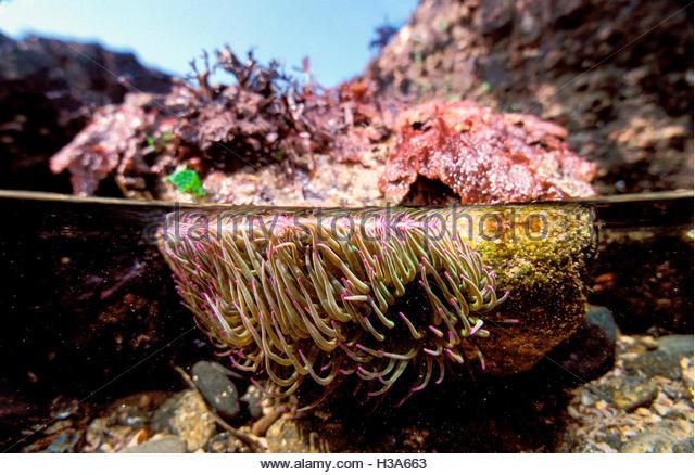 Snakeslock anemone in tide pool, split level - Stock Image