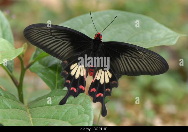 Common Rose Butterfly (Pachliopta aristolochiae), Papilionidae, adult, Erawan National Park, Thailand - Stock Image