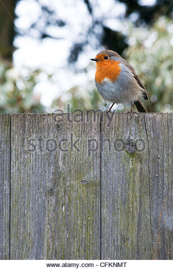 Robin on a garden fence - Stock Image