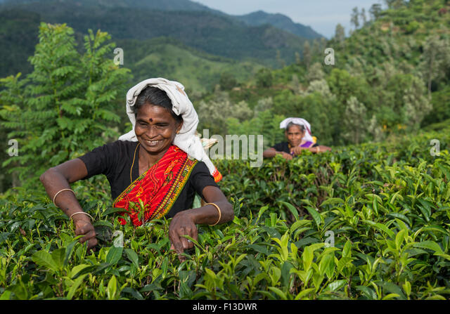 Two women picking tea, sri lanka - Stock Image