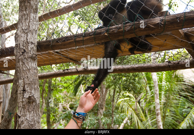 A young woman reaches out to a monkey in Mexico. - Stock Image