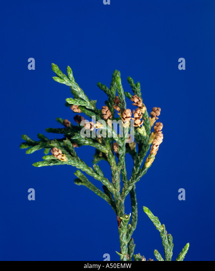Eastern Red Cedar Flower Ceder Stock Photos &am...