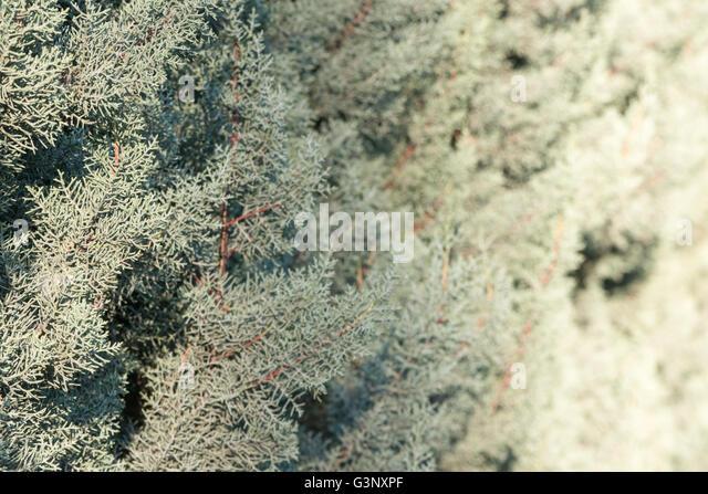 Miniature Hydrangea Bush