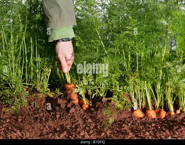 farm worker picking carrot - Stock Image