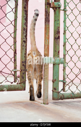 Ginger cat squeezing through fence doors - Stock Image