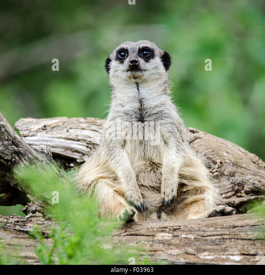 Meerkat (Suricata suricatta) Feeling Fat - Stock Image