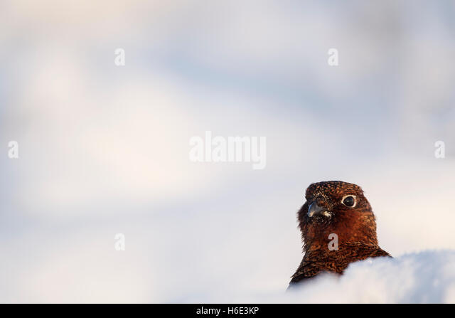 Male red grouse, Latin name Lagopus lagopus scotica, among snow hillocks - Stock Image