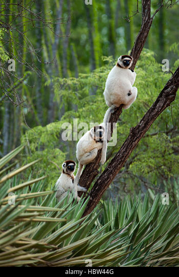 Verreaux's Dancing Sifaka (Propithecus verreauxi) in Spiny Forest - Stock Image