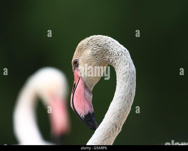 Greater Flamingo (Phoenicopterus roseus) - Stock Image