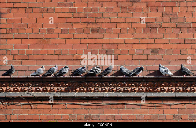 Pigeons on the ledge of a wall - Stock Image