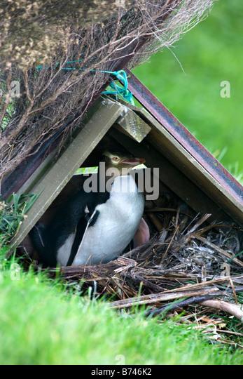 New Zealand, South Island, Dunedin, Otago Peninsula, Yellow-eyed Penguin (Megadyptes antipodes) . - Stock Image
