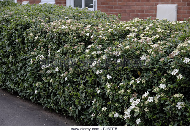 viburnum tinus hedge stock photos viburnum tinus hedge stock images alamy. Black Bedroom Furniture Sets. Home Design Ideas