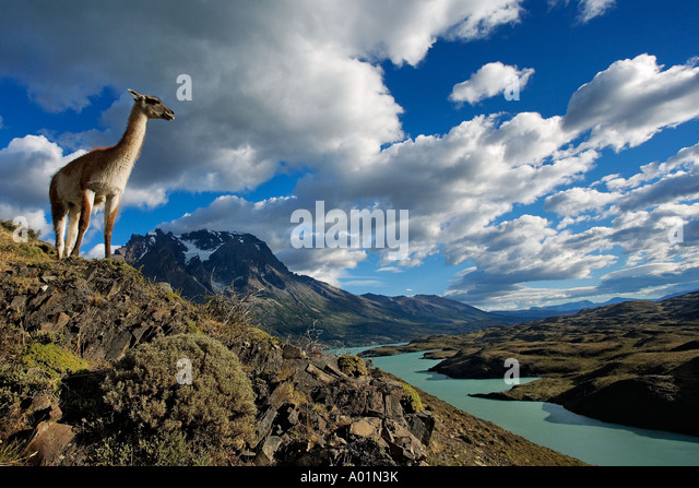 Guanaco Lama guanicoe Guanaco standing on hillside Torres del Paine National Park Chile South America - Stock Image
