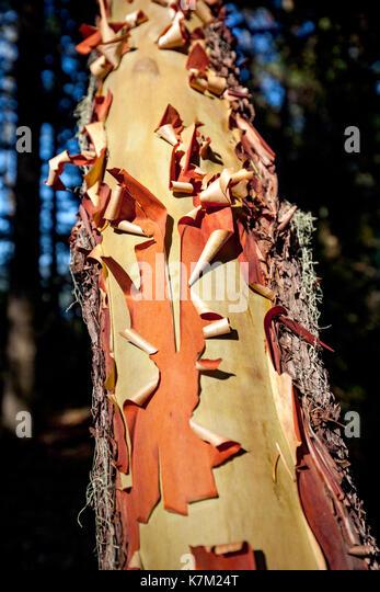 Arbutus Tree (Arbutus menziesii) Bark - East Sooke Regional Park, Sooke, Vancouver Island, British Columbia, Canada - Stock Image