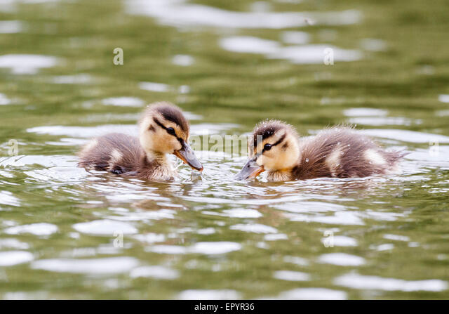 Windsor, UK. 23rd May, 2015. 23rd May 2015. Windsor, UK. UK weather. A pair of mallard ducklings enjoy a swim on - Stock-Bilder