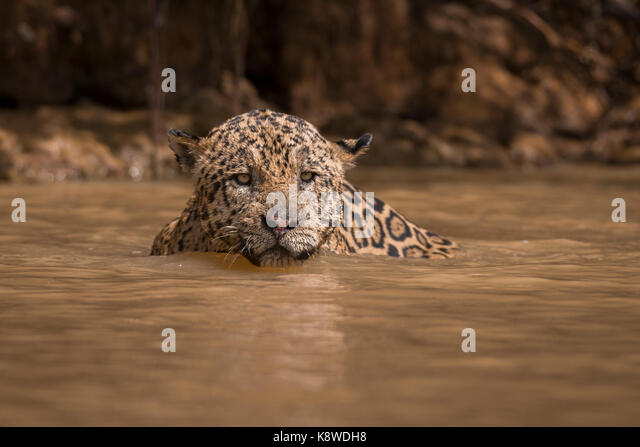 A Jaguar swims on a river in North Pantanal, Brazil - Stock Image