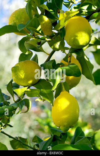 how to stop gall wasp on lemon tree