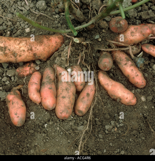 Exposed potato tubers variety Pink Fir Apple - Stock Image