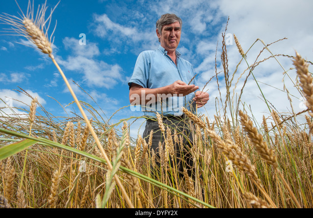Farmer in Wheat Field Snow Hill MD - Stock Image