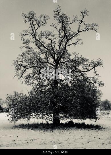 Snowy tree - Stock Image