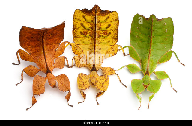 Phyllium Westwoodii, three stick insects, in front of white background - Stock-Bilder