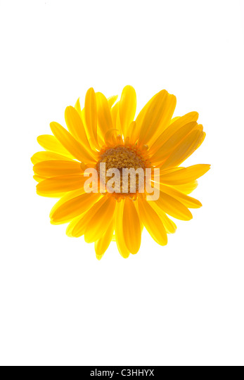 yellow gerber daisy on white - Stock Image