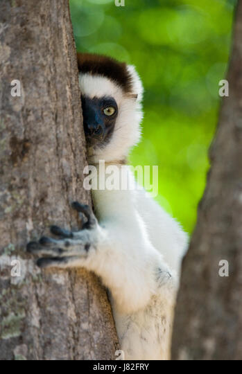Dancing Sifaka sitting on a tree. Madagascar. An excellent illustration. - Stock Image