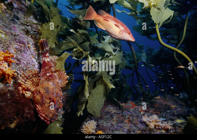 Underwater rocky reef with 3 species fish kelp soft coral Depth 12 metres 40 feet White Island New Zealand - Stock Image