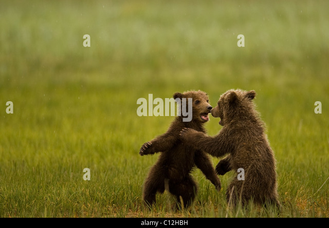 Grizzly  bear cubs play in a coastal meadow. - Stock-Bilder