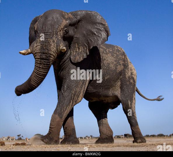 Low angle elephant, Etosha Pan, Namibia - Stock Image