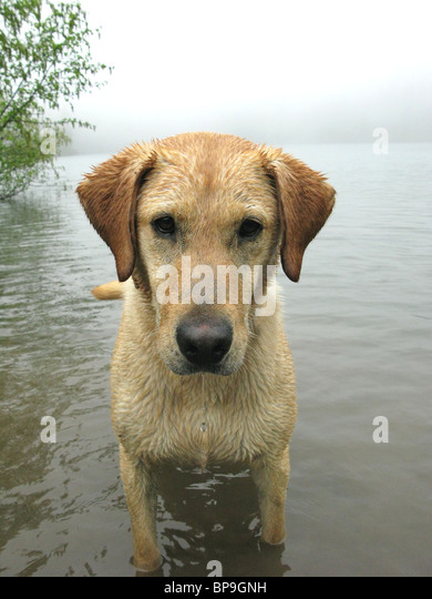 portrait of yellow Labrador retriever standing in lake - Stock Image