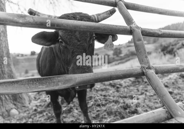 A cow looks up between the bars of a gate on a rural farm in Oregon, USA. Black and white. - Stock Image