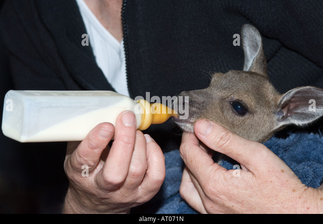 Western Grey Kangaroo (Macropus fuliginosus) 3 months old joey drinks from the bottle for the first tim Mt. Barker - Stock Image