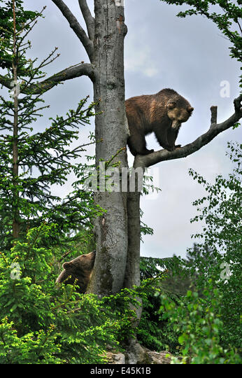 European Brown bear (Ursus arctos) female climbed tree and is looking down at male bear, Bavarian Forest NP, Germany, - Stock Image