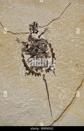 Fossil Snapping turtle (species unknown) Eocene Epoch, credit geodecor Green River Formation, Wyoming, USA - Stock-Bilder