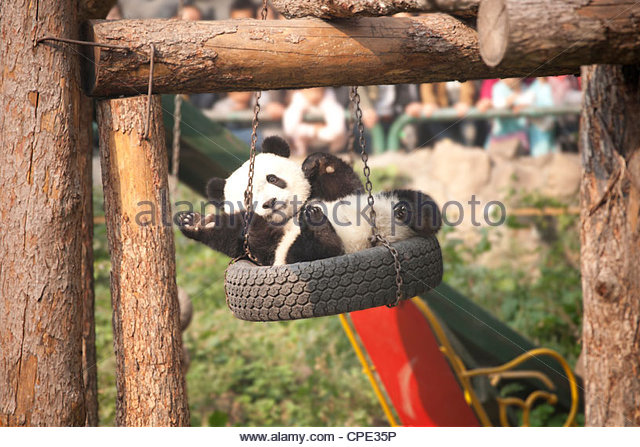 Giant panda (Ailuropoda melanoleucabear) swinging in a tyre swing, Beijing zoo, Beijing, China, Asia - Stock Image