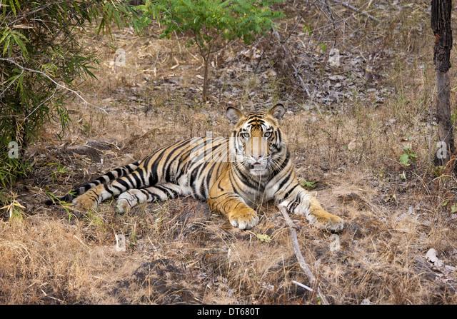 A tiger in Bandhavgarh National Park, India - Stock-Bilder