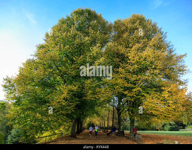 Lime trees and people near Kenwood House, London, England, United Kingdom - Stock Image