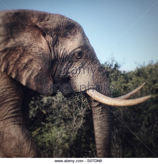 African Elephant, Kariega Game Reserve, South Africa - Stock Image