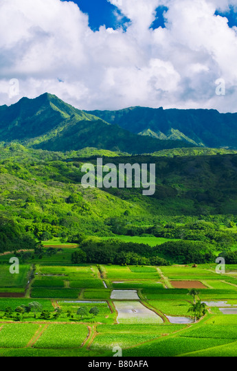 Taro fields in Hanalei Valley Island of Kauai Hawaii - Stock Image
