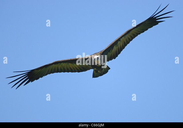 Hooded Vulture (necrosyrtes monachus) flying over Kololi Beach, The Gambia, Africa - Stock Image