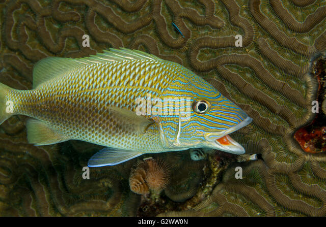 A White grunt hovers near a brain coral in hopes of being cleaned by a nearby Neon goby - Stock-Bilder