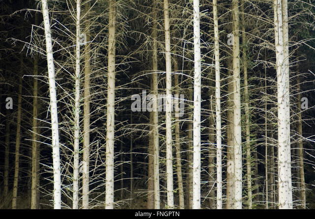 Abstract coniferous bare branched trees creating a pattern at t wood in Waterford, Ireland - Stock Image
