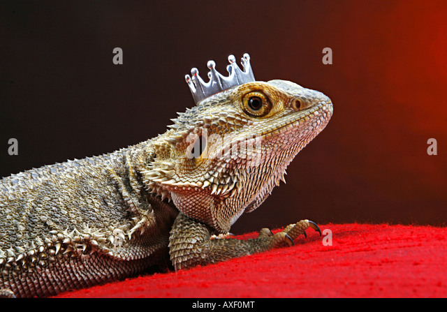 Central Bearded Dragon with crown - Stock-Bilder