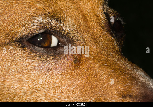 Jack Russell Terrier Eye/Face/Muzzle - Stock Image